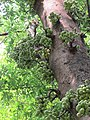 Ficus racemosa fruits at Makutta (9).jpg