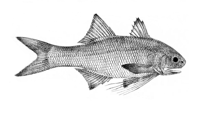 File:Filimanus heptadactyla.png