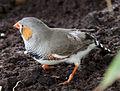 Finch (5597716579).jpg