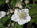 Fiori di mora da rovo (Rubus ulmifolius) sull'argine dell'Adige a Boara Polesine, Rovigo 03.jpg