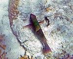 Fish 23 (30880497472).jpg