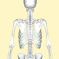 Fisrt costal cartilage posterior2.png