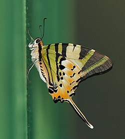 Fivebar Swordtail (Graphium antiphates) at 23 Mile near Jayanti, Duars, West Bengal W IMG 5877.jpg