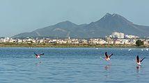 Flamants roses sur le Lac de Tunis.jpg