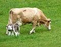 Fleckvieh-Mutterkuh mit Kalb 15.JPG