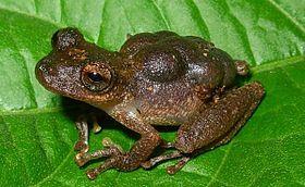 Flectonotus pygmaeus02.jpg