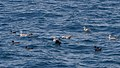 Flesh-footed Shearwater and Heuglin's Gull (5040984809).jpg
