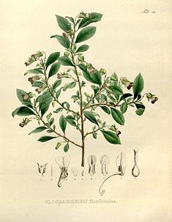 <i>Schweiggeria</i> Genus of flowering plants in Eudicot family Violaceae
