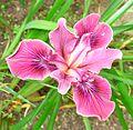Flickr - brewbooks - Iris - our garden.jpg