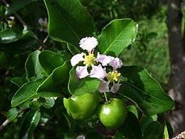 Flower of acerola
