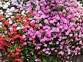 Flowers in Corniglia (4712261396).jpg