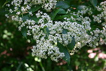 Flowers of Viburnum sieboldii 001.JPG