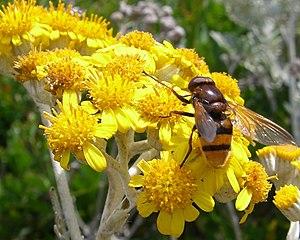 Jacobaea maritima - Flowers, Port-Cros National Park, France