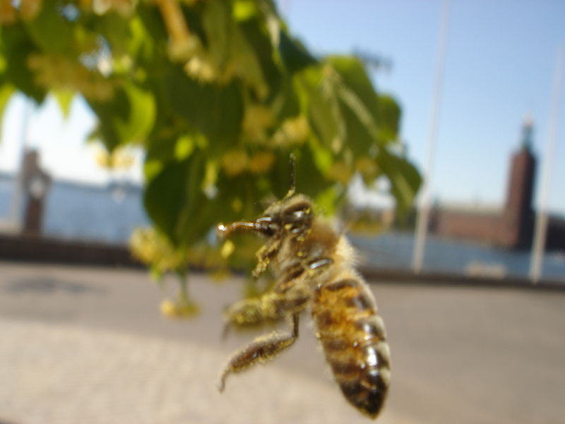 Fichier:Flying bee.JPG