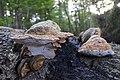 Fomes fomentarius (Tinder fungus or Ice man fungus, D= Zunderschwamm, F= Amadouvier, NL= Echte tonderzwam) at 8 October 2011 - panoramio.jpg