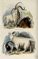 Four goats; above, A four horned and a common goat, below, a Wellcome V0020812.jpg