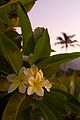 Frangipani in the morning (8184683651).jpg