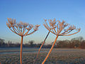 Frosty umbels, Charvil Meadows - geograph.org.uk - 695691.jpg