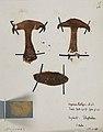 Fungi agaricus seriesI 025.jpg