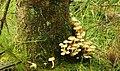 Fungus, Drumkeeragh forest (6) - geograph.org.uk - 905609.jpg