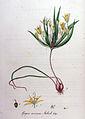 Gagea arvensis — Flora Batava — Volume v9.jpg