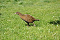 Gallirallus australis -New Zealand-8a.jpg