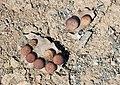 Gallnut quercus - Meşe mazısı 04.jpg