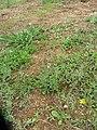 Gamochaeta calviceps (Fern.) Cabrera (AM AK330066-2).jpg