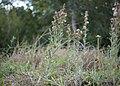 Gamochaeta calviceps plant1 Dungog (15256545632).jpg