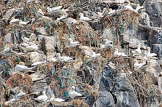 Northern gannet - Nests among the rocks. The population of this species appears to be increasing.