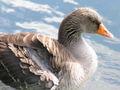 Ganso-Greylag Goose12.jpg