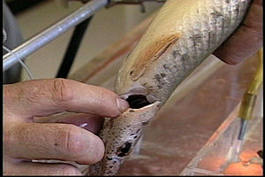 Alligator gar - Gill of a juvenile gar