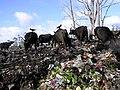 Garbage dump Ooty.jpg
