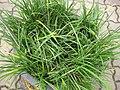 Gardenology.org-IMG 7614 qsbg11mar.jpg