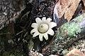Geastrum saccatum 18748968.jpg