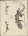 Gecko guttatus - 1700-1880 - Print - Iconographia Zoologica - Special Collections University of Amsterdam - UBA01 IZ12300105.tif