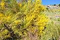 Genista cinerascens en flor.jpg
