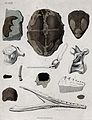 Geology; fossil remains in stone. Coloured engraving. Wellcome V0025114EL.jpg