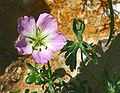 Geranium argenteum ENBLA01.jpeg