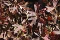 Geranium maculatum Espresso 2zz.jpg