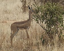 Gerenuk (Litocranius walleri) - Flickr - Lip Kee (1).jpg