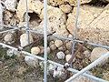 Ggantija, Gozo 48.jpg