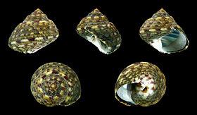 Gibbula adriatica 01.JPG