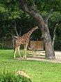 Giraffe and Baby (507164219).jpg
