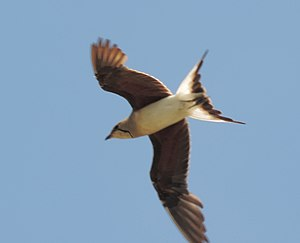 Collared pratincole - In flight, showing dark rufous underwing coverts and deeply forked tail