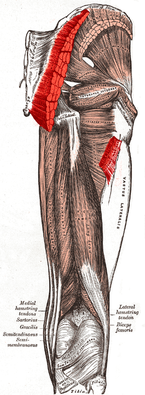 Gluteus maximus muscle - Muscles of the gluteal and posterior femoral regions, showing origin and insertion of gluteus maximus muscle.