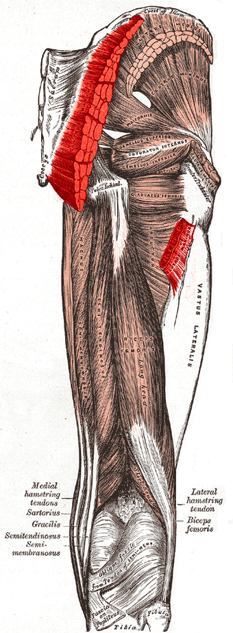 Muscles of the gluteal and posterior femoral regions, showing origin and insertion of gluteus maximus muscle. Gluteus maximus muscle.PNG