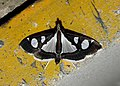 Glyphodes bicolor Crambidae by Dr. Raju Kasambe DSCN0453 (8).jpg