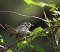 Golden-crowned Warbler Basileuterus culicivorus.jpg