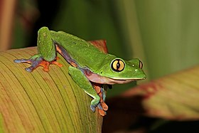 Golden-eyed tree frog (Agalychnis annae).jpg